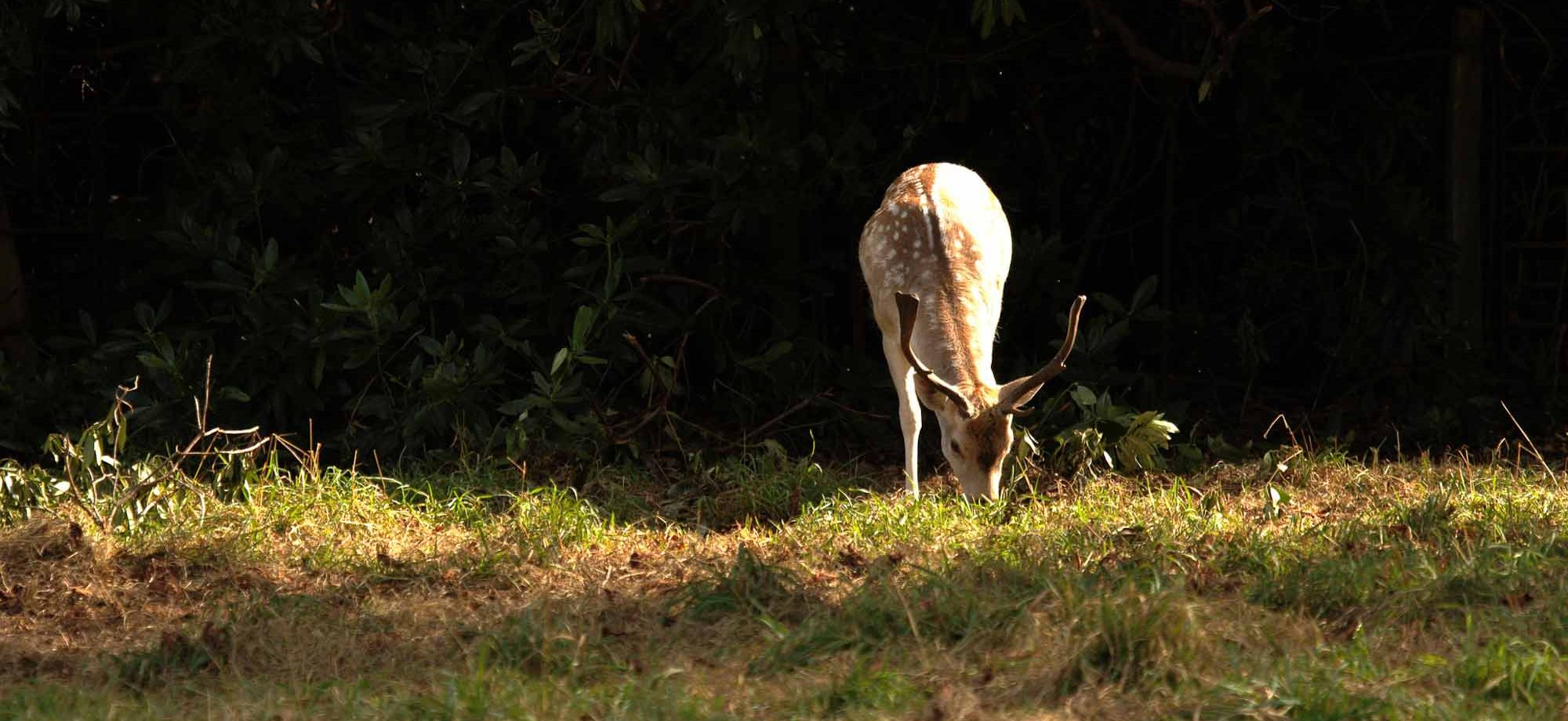 Fallow deer. Photo: Stephen G
