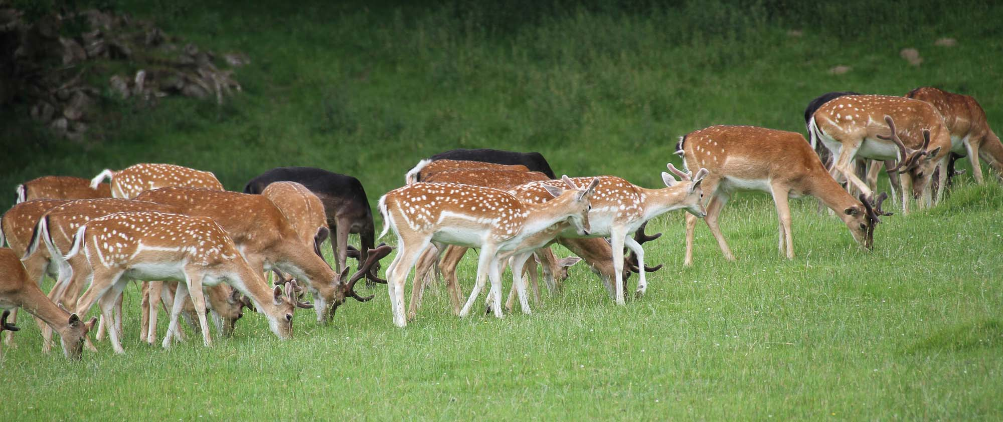 Fallow deer. Photo Tony Hisgett