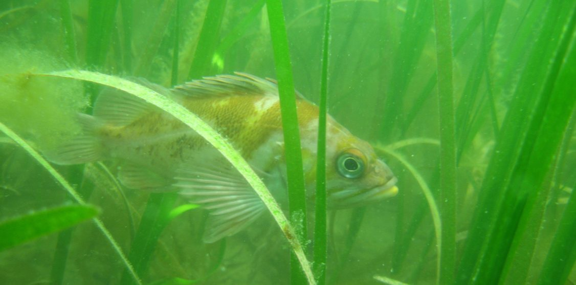 eelgrass with rockfish
