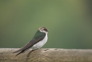 Violet-green swallow. Photo: Tom Ediger
