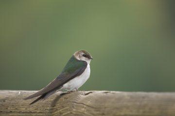 Violet-green swallow. Photo: Tom Ediger