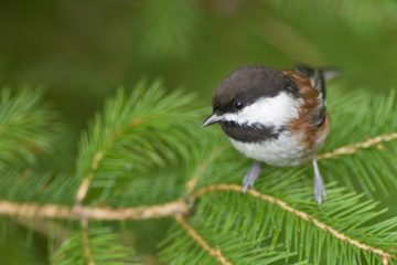 Chestnut-backed chickadee. Photo by Tom Ediger