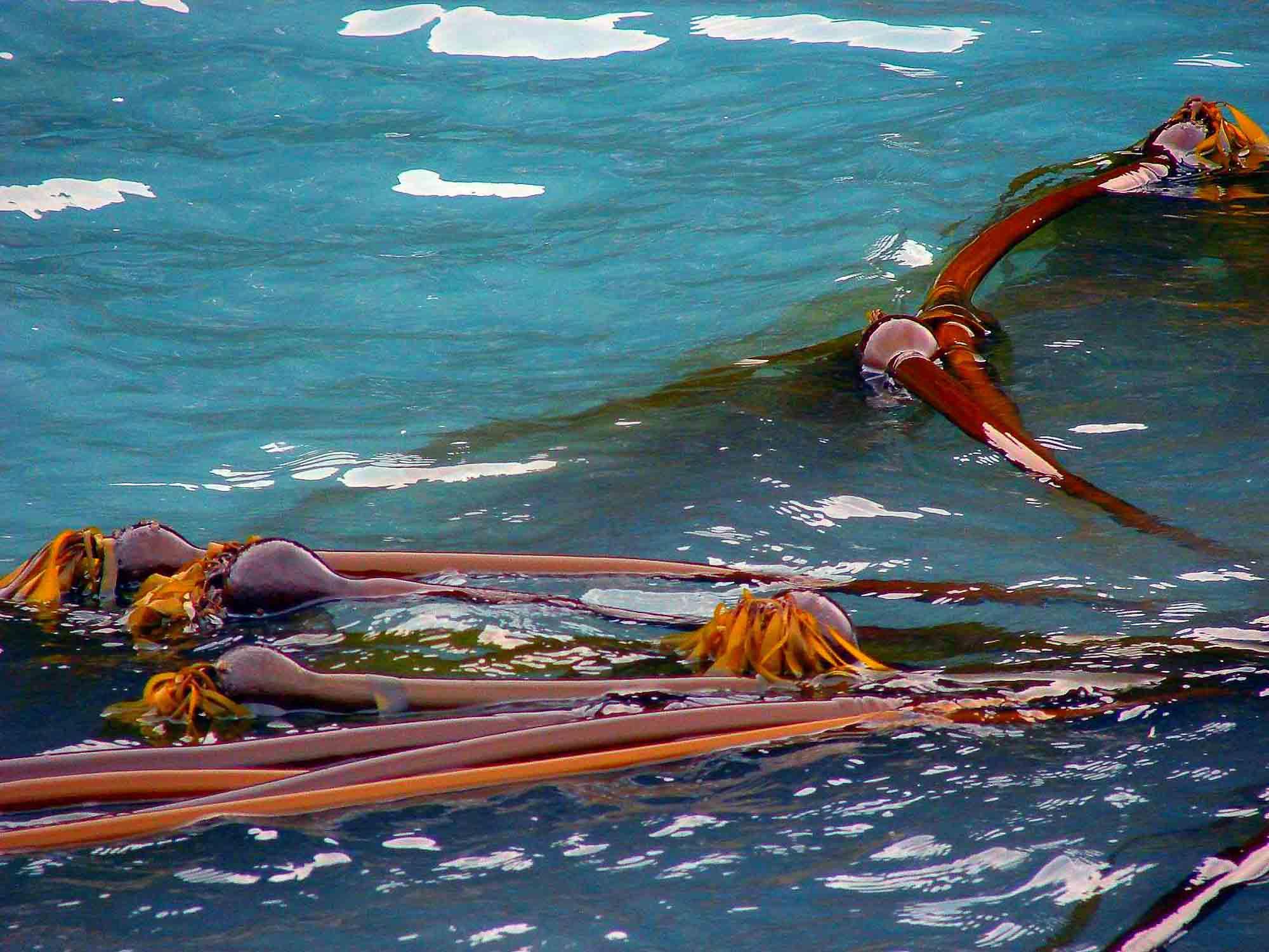 Bull Kelp, Emma Forsberg