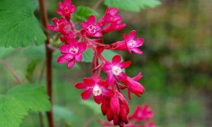 Red-flowered currant