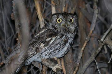Western Screech Owl. Photo: Tom Benson