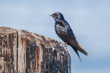 Malel Purple Martin. Photo: Eric Ellingson