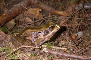 Northern Red-legged Frog. Photo: Teal Waterstrat (USFWS)