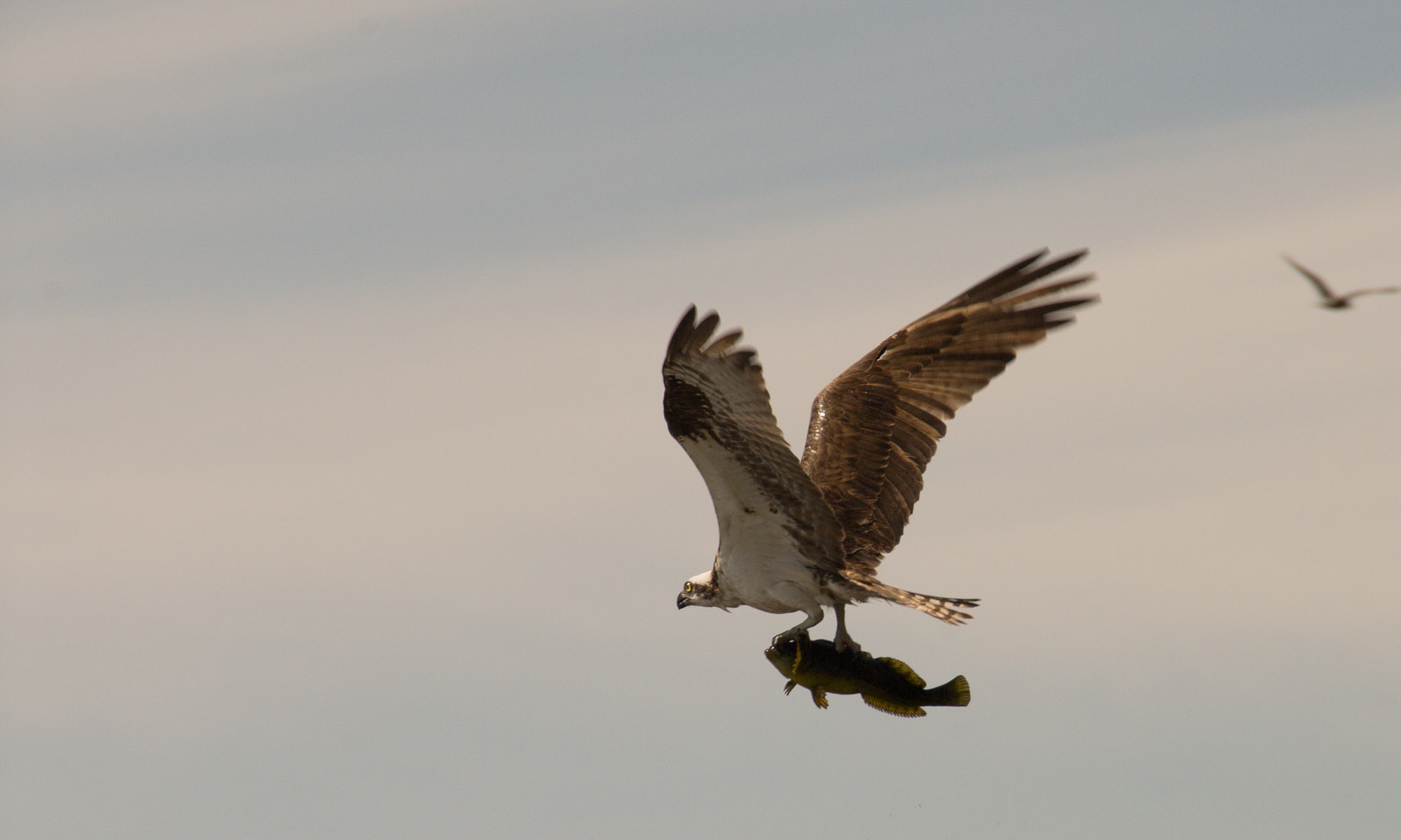 Osprey with kelp greenling