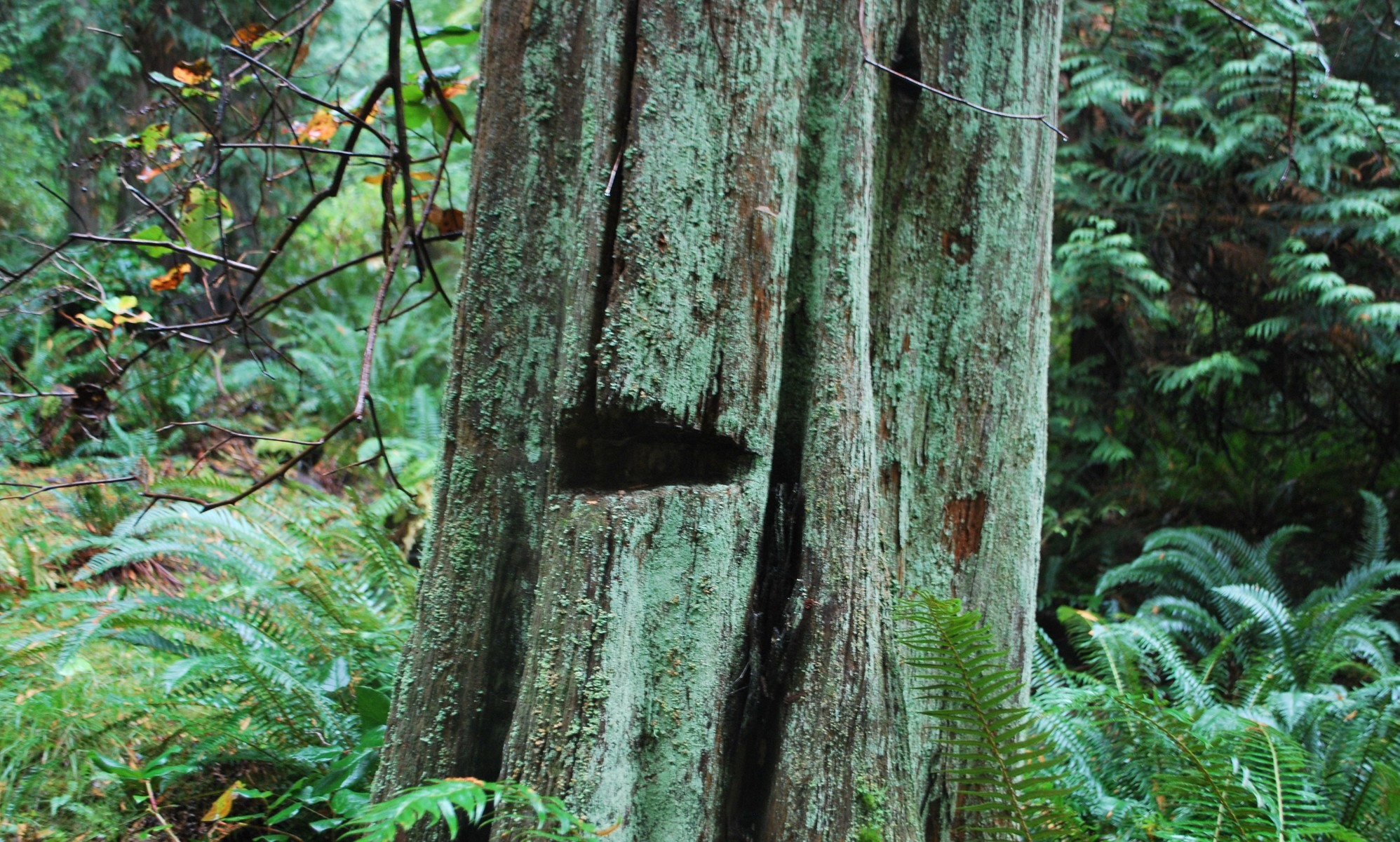 western red cedar stump with hole in the side showing evidence of past logging techniques.