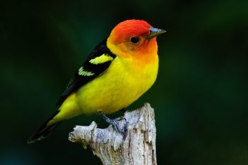 Western Tanager. Photo: Jerry McFarland