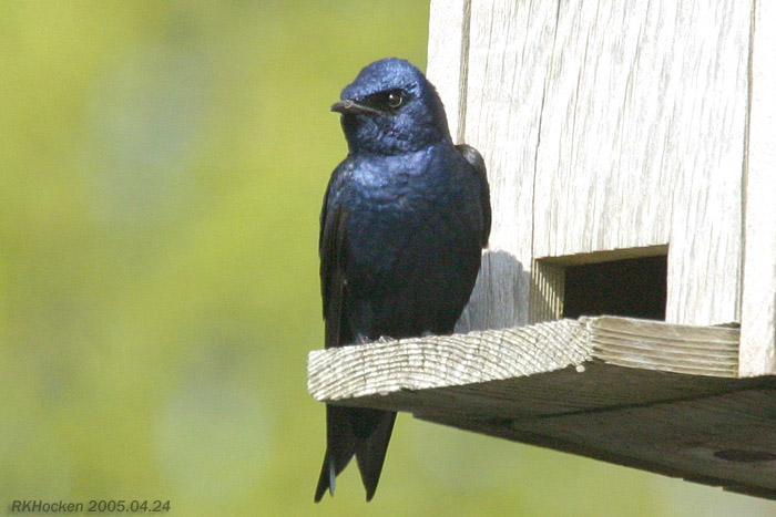 Adult male western purple martin. Photo: Ralph K. Hocken