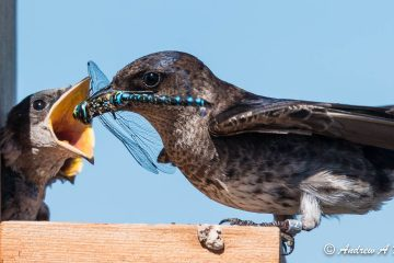 Dragonfly dinner! Photo: Andrew A. Reding