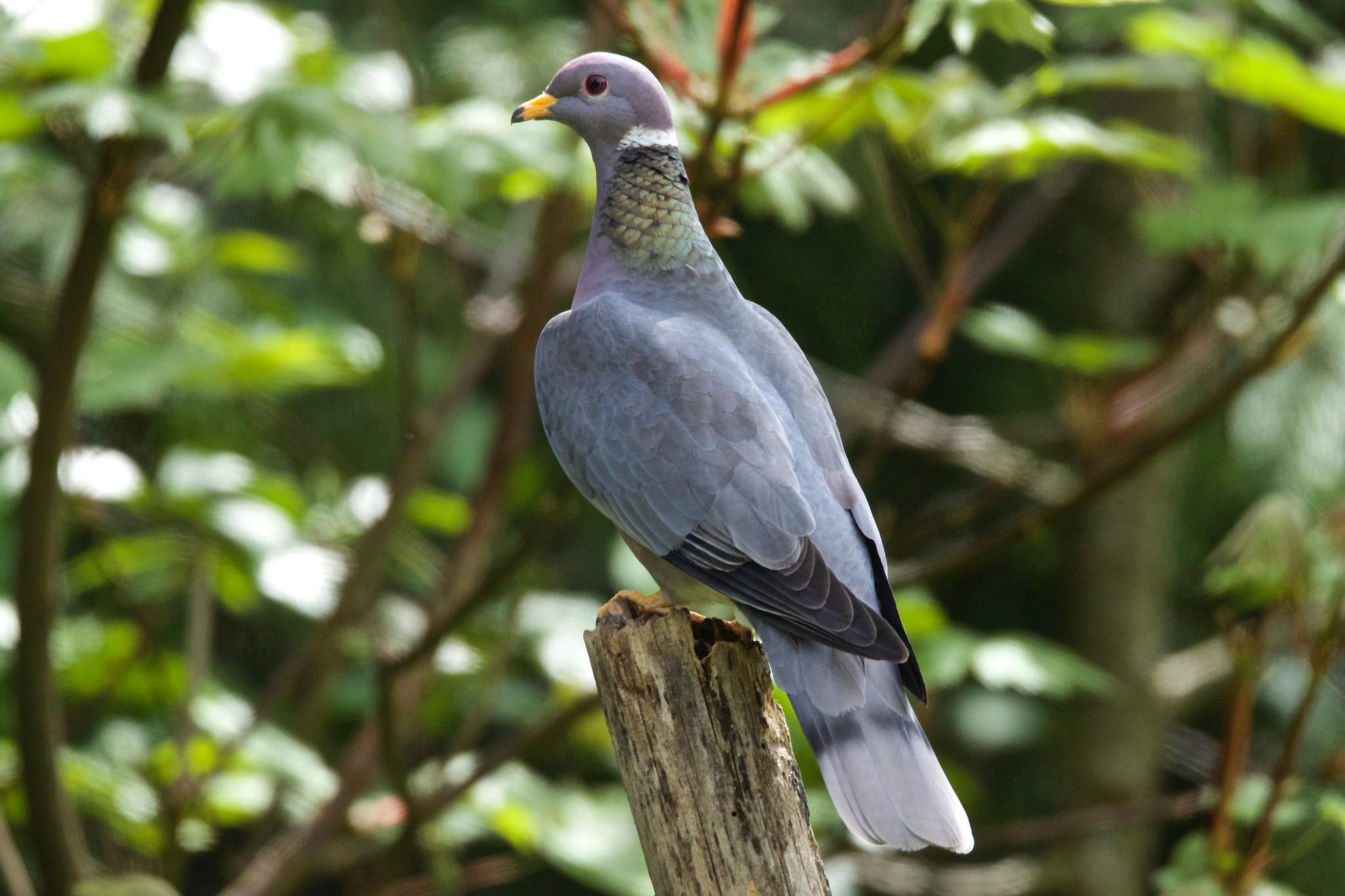 Band-tailed Pigeon. Photo: Jerry McFarland