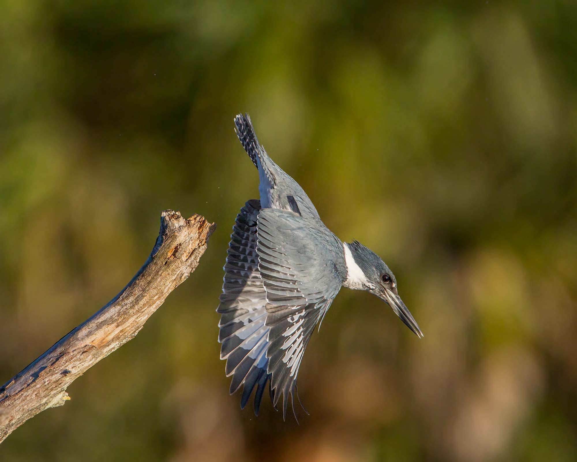 Belted Kingfisher. Photo: Andy Morrffew
