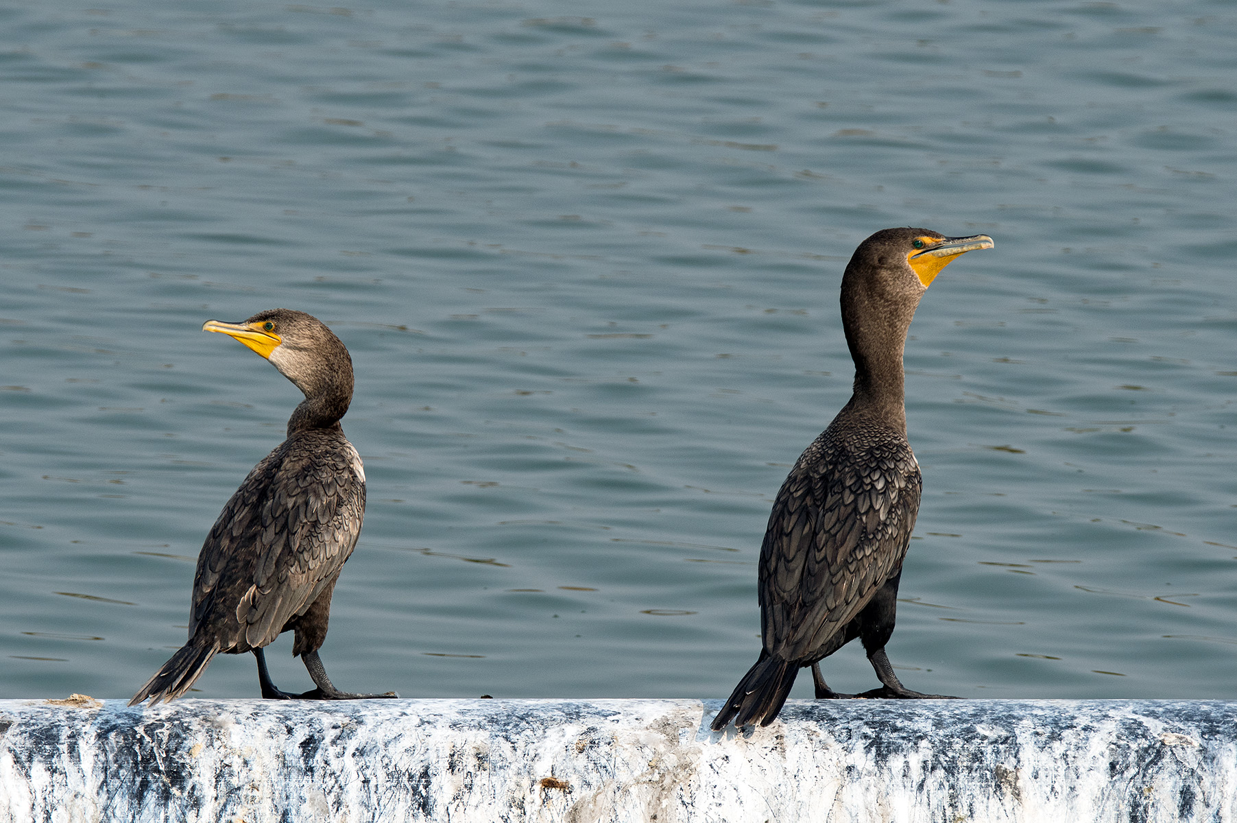 Double-crested Cormorants. Photo: Doug Greenberg