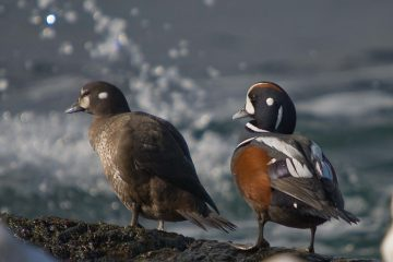 Harlequin Ducks. Photo: Don Enright