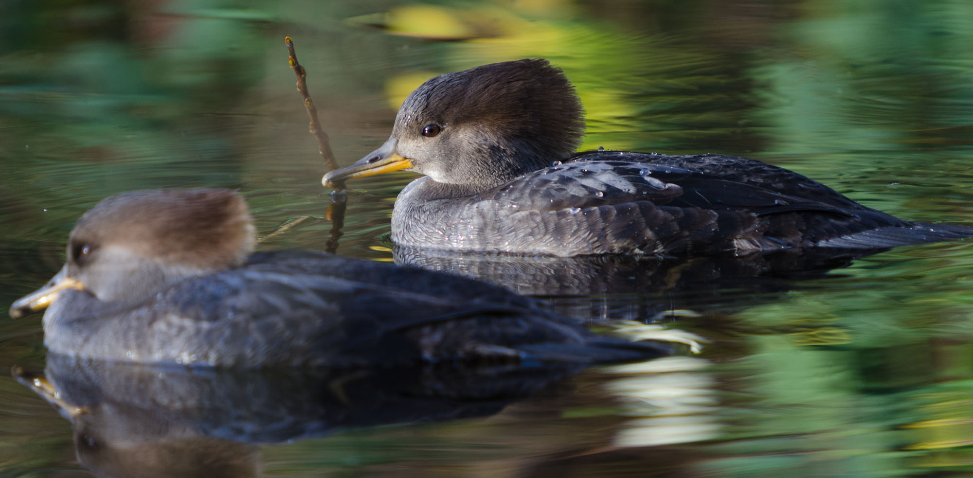 Female Hooded Mergansers. Photo: Don Enright
