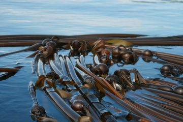 Kelp Bed Monitoring Archives - Mayne Island Conservancy