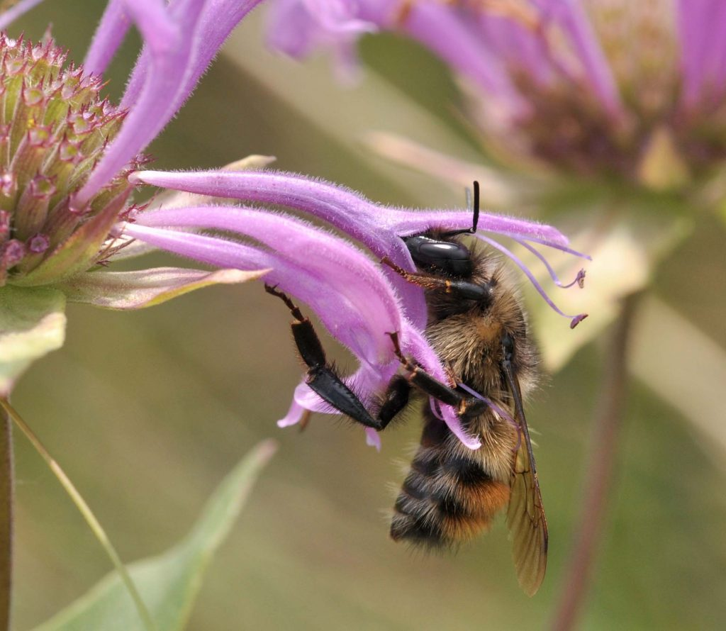 Bumble bee, Bombus flavifrons. Photo: Sarah Johnson