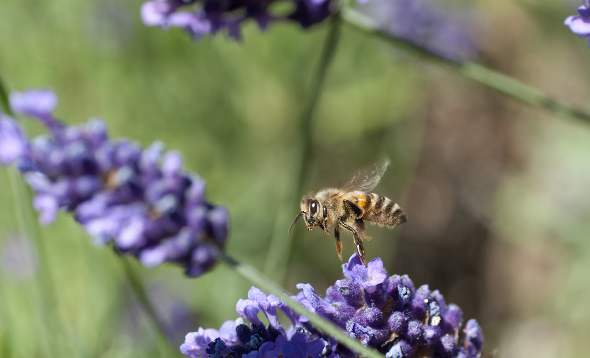 Honey bee and lavendar. Photo: Don Enright