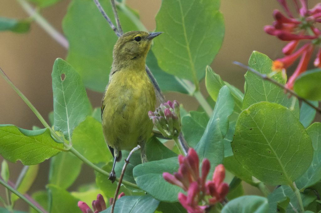 Orange-crowned Warbler. Photo: Tom Ediger