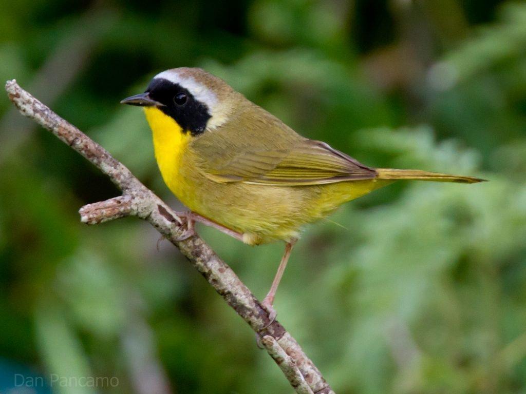 Common Yellowthroat. Photo: Dan Pancamo