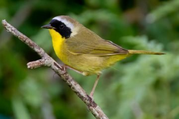 Common Yellowthroat. Photo: Dan Pancamo