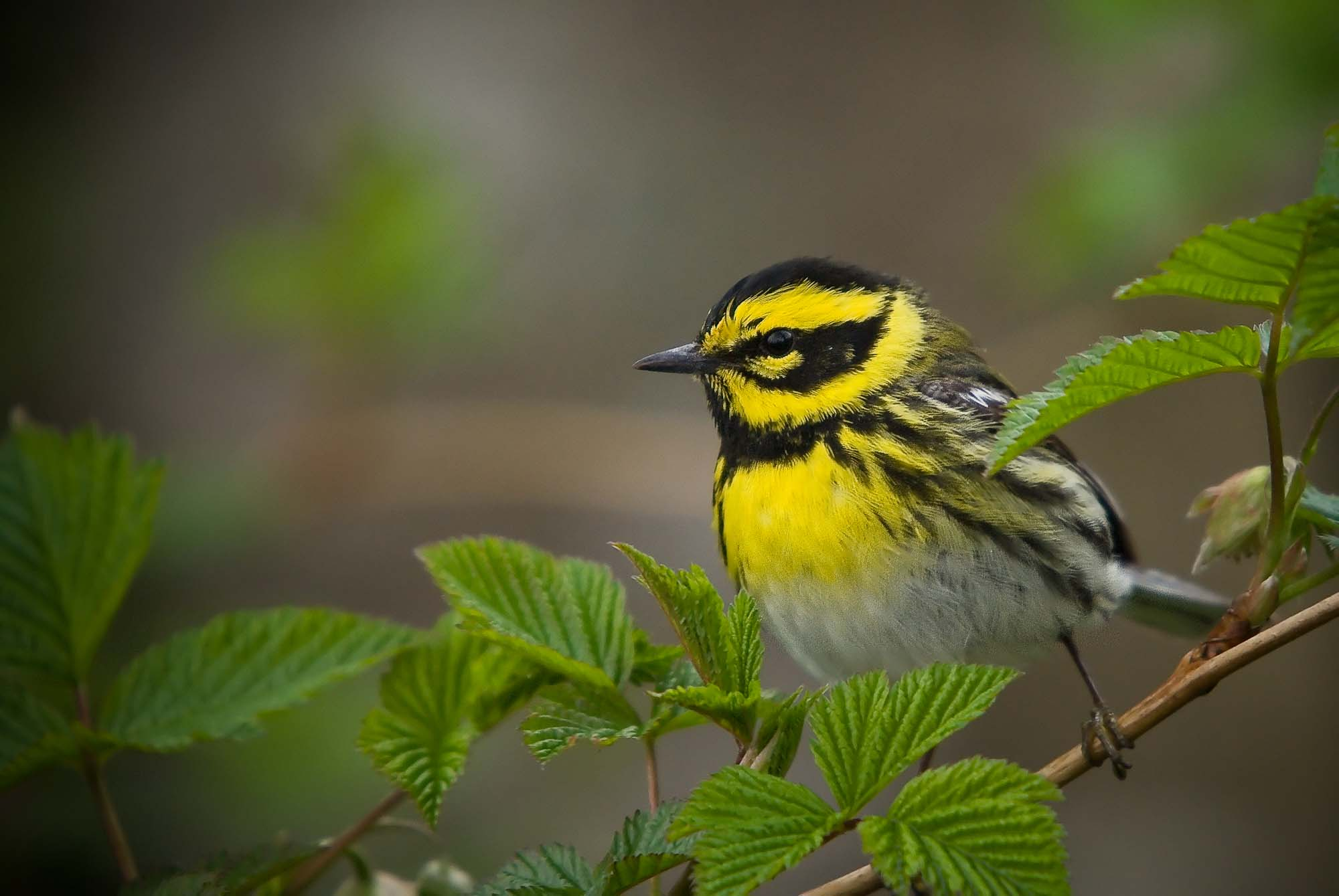 Townsend's Warbler. Photo: Don Enright