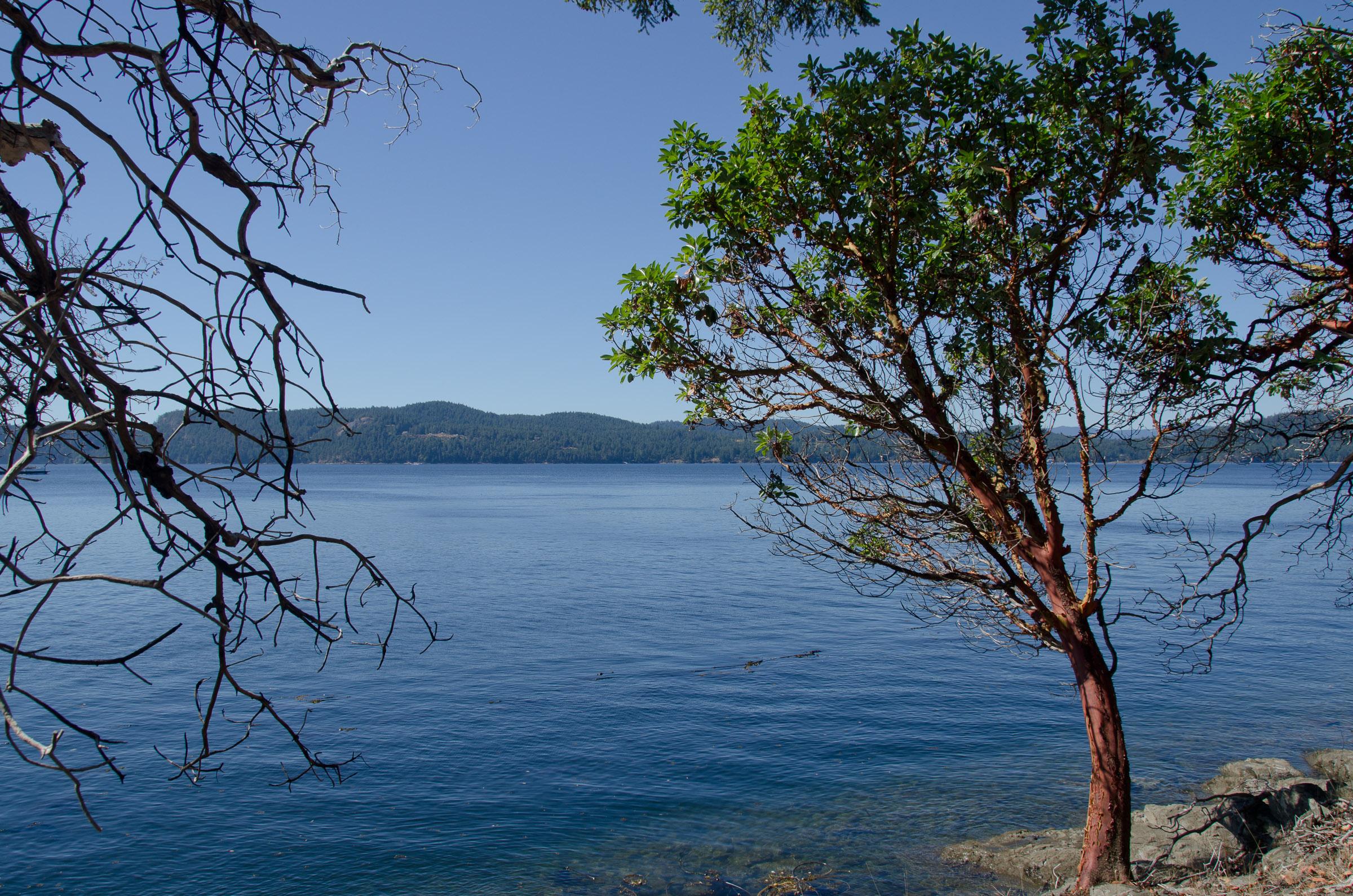 Arbutus tree on coastline