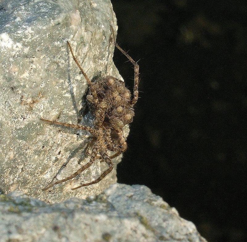 Pardosa wolf spider